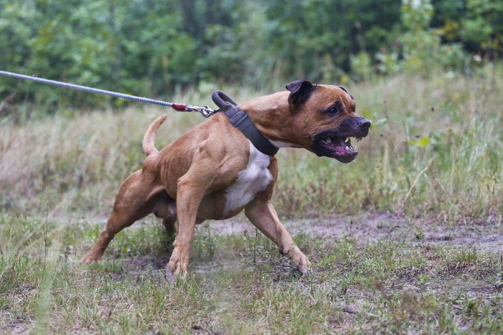 Pit bulls Can be Vicious - Call our Houston personal injury attorney for a free case evaluation!